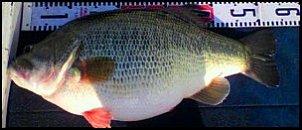 Click image for larger version  Name:big fish.jpg Views:154 Size:13.1 KB ID:7498
