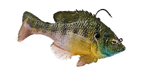Mattlures Ultimate Bluegill